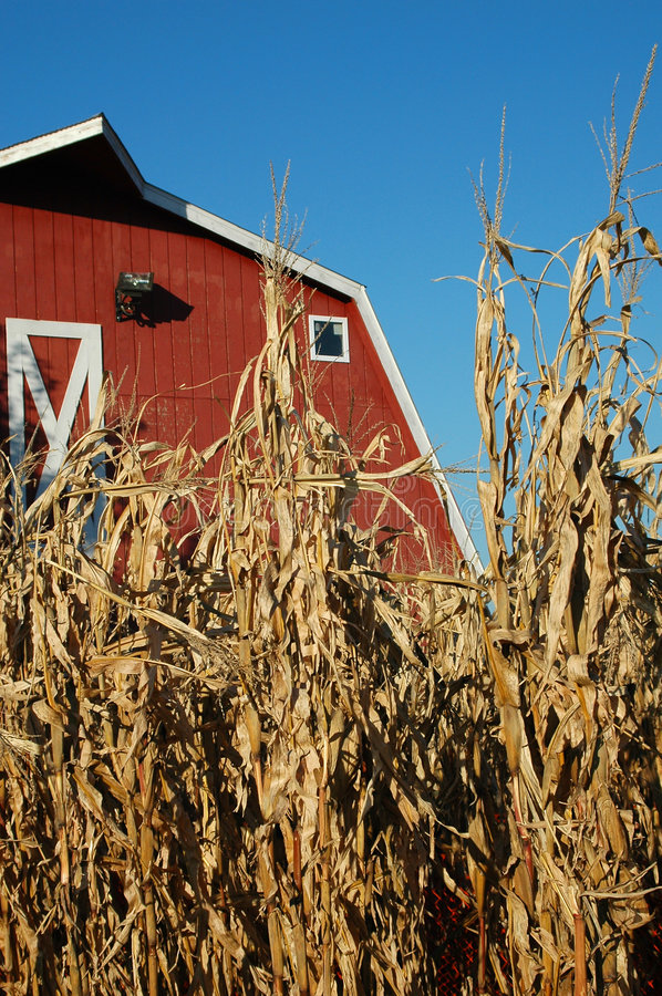 Download Corn and Barn stock image. Image of seed, cultivation - 1440507