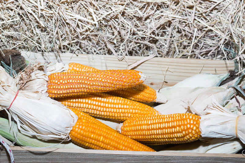 Corn. A big Corn on a haystack royalty free stock photography