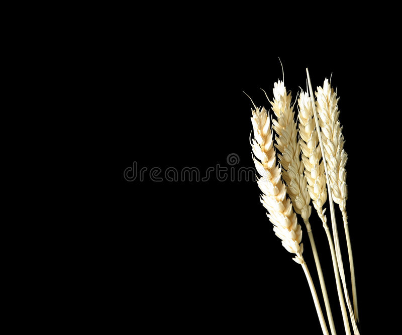 Corn on black royalty free stock photo