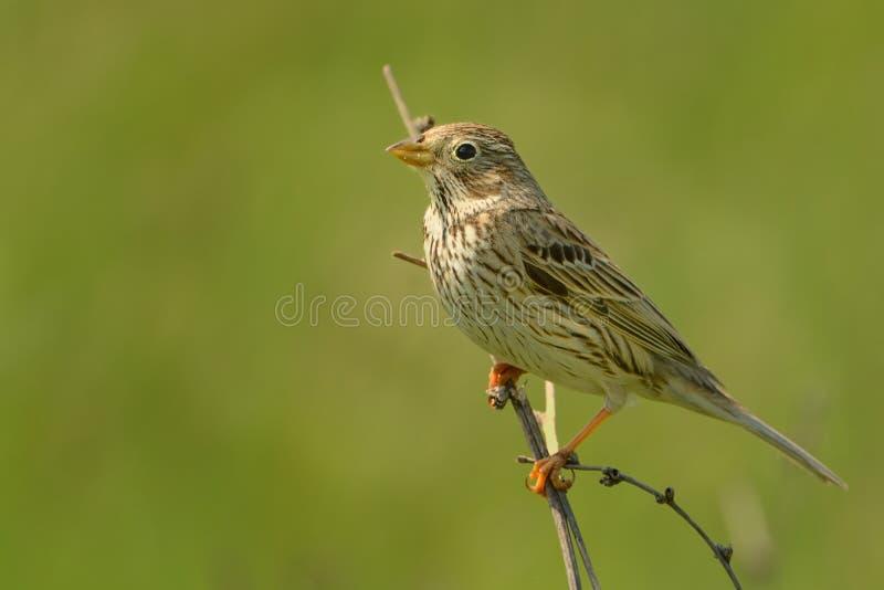 Corn Bunting - Emberiza calandra. On the branch royalty free stock photography