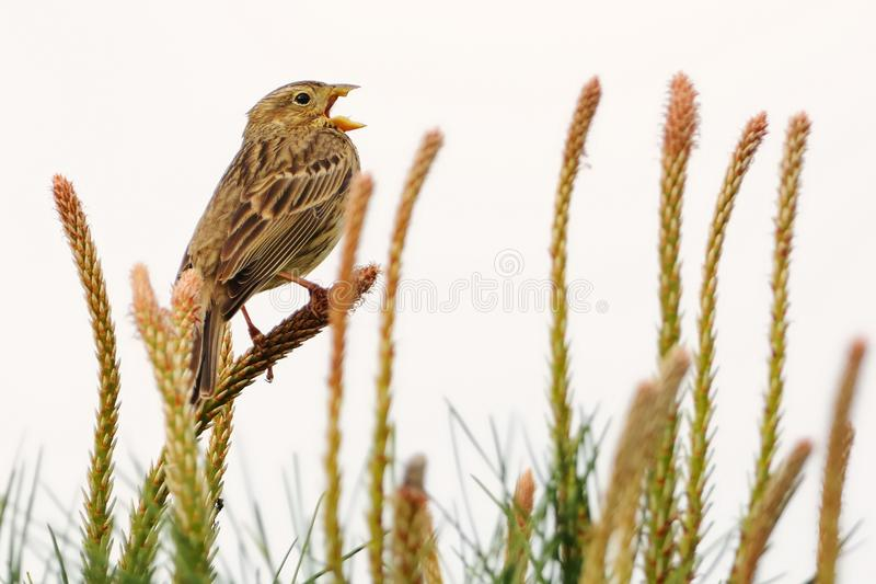 Corn Bunting - Emberiza calandra. On the branch with white background stock image