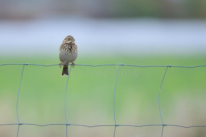 Corn bunting in the fall in saxon. On a meadow royalty free stock photography