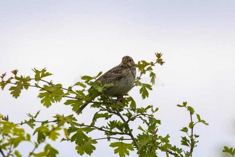 Corn bunting perched on a twig, singing. Corn bunting Miliaria calandra perched on a twig, singing stock image