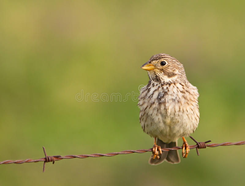 A Corn Bunting On The Wire Stock Images