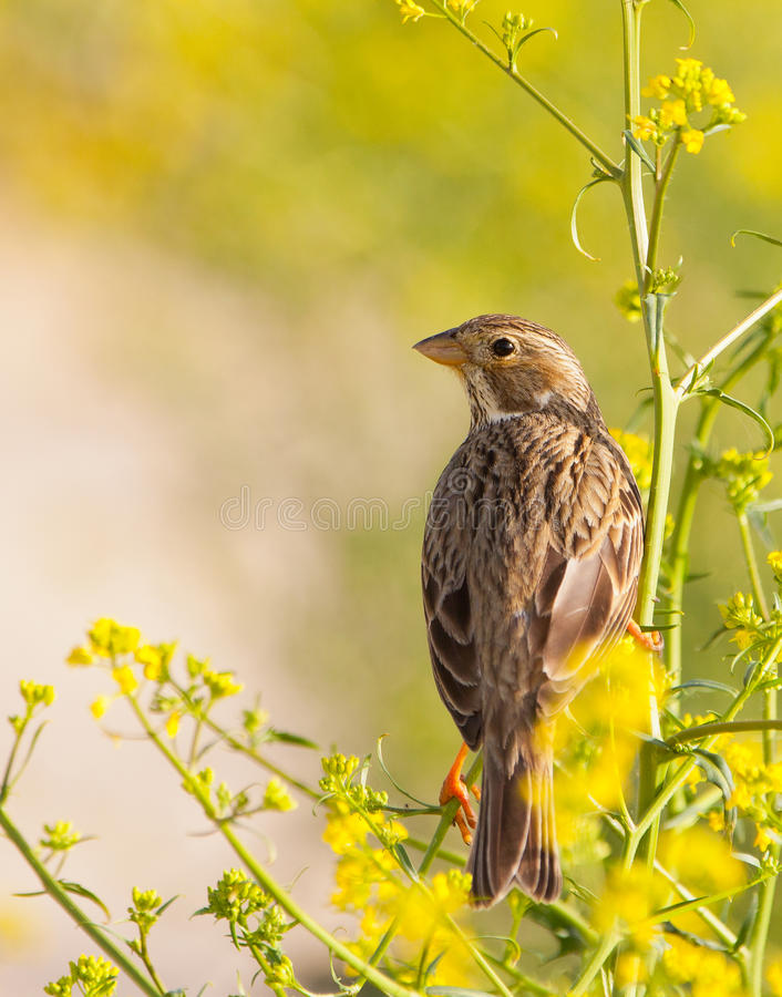 Corn Bunting in Yellow and Green. A Corn Bunting (Miliaria calandra) highlights from a beautiful yellow and green background stock photos
