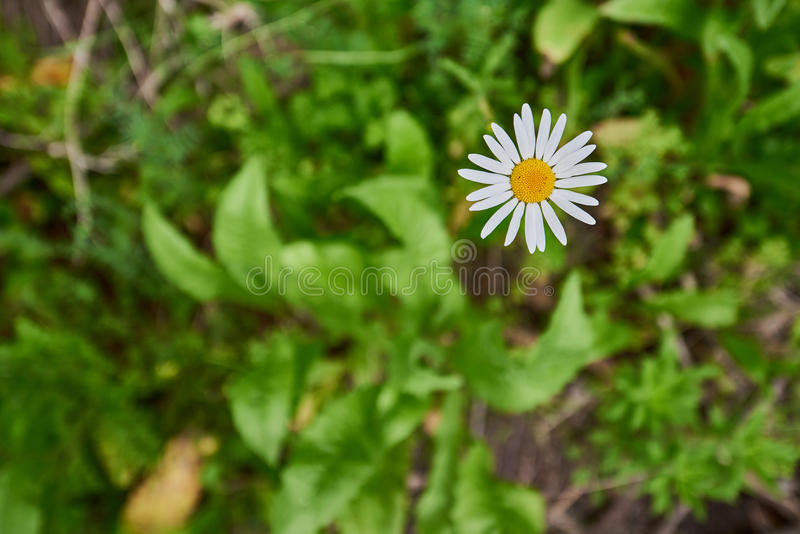 Corn Chamomile. Yellow and white daisy like flowers growing wild. In Waikowhai Park in Auckland New Zealand royalty free stock image