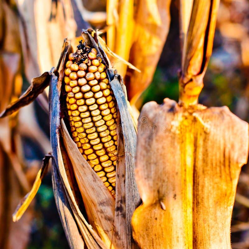 Corn closeup on the stalk royalty free stock photos
