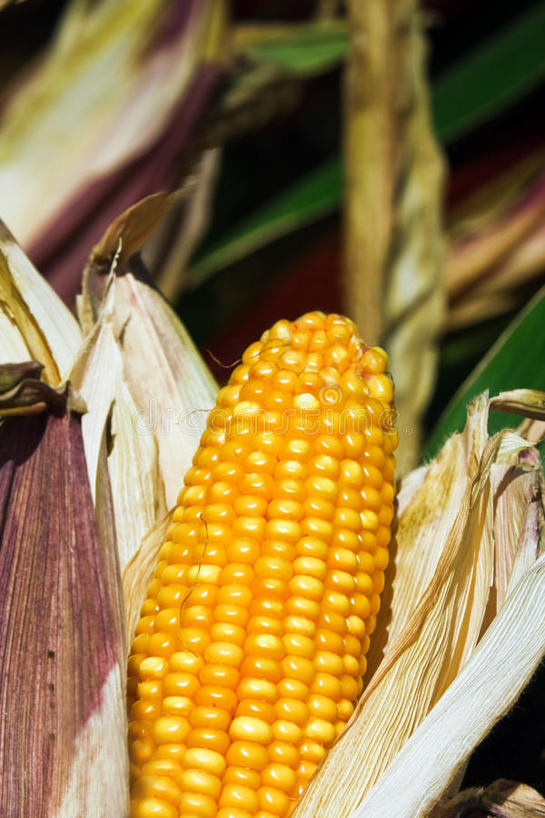 Download Corn cob stock photo. Image of health, nutrition, fresh - 11121632