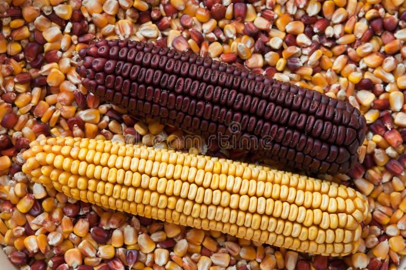 Download Corn on the cob stock photo. Image of defocused, focus - 22210900