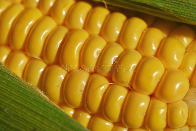 Download Corn on the Cob stock photo. Image of uncooked, close - 3169422