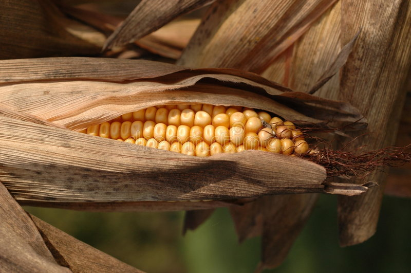 Download Corn cob in autumn stock photo. Image of food, detail - 5575982