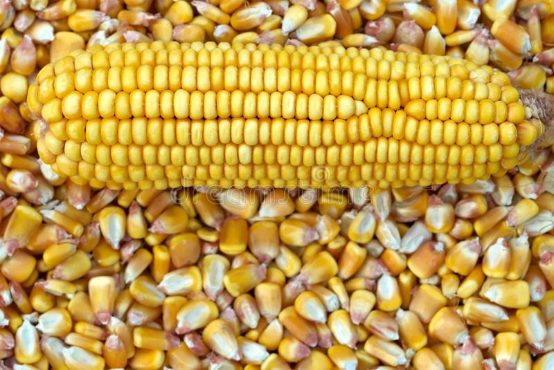 Download Corn Cob and corn kernel stock image. Image of maize - 15908641