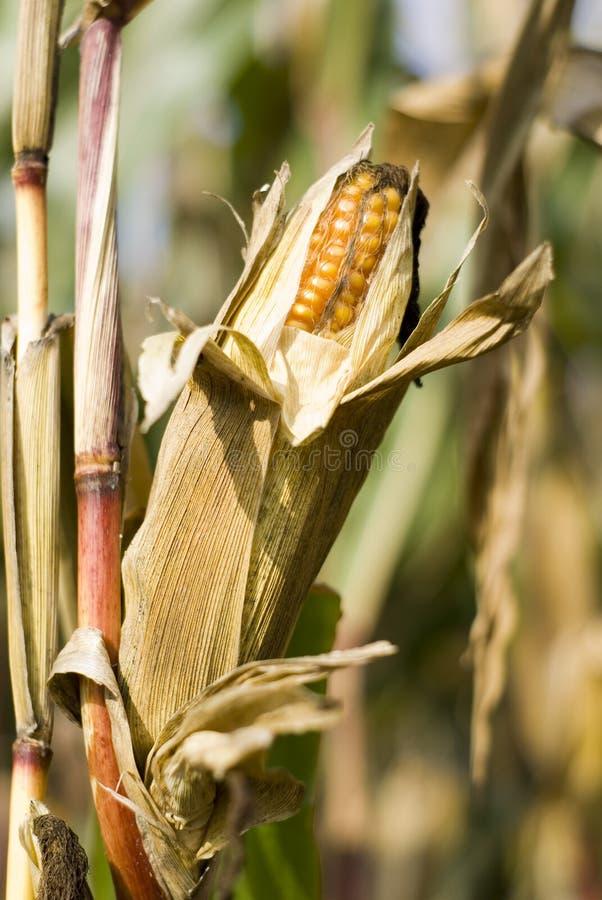 A corn cob in the field stock photo