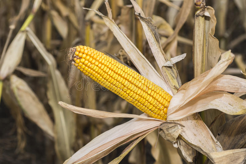Corn Cob in the Field. Ear of Corn in Autumn Before Harvest. Agriculture Concept. stock images