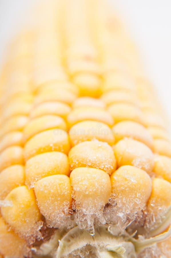 Corn cob. Frozen corn cob on a white background royalty free stock image