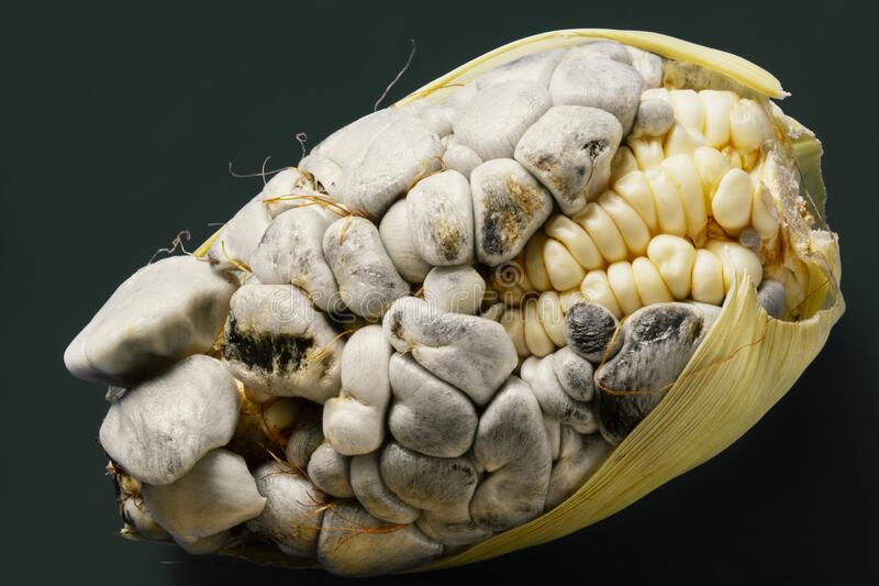 Corn cob with the corn fungus, known as huitlacoche royalty free stock photo