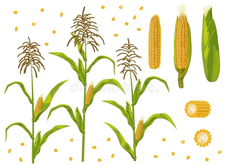 Corn cob, grain and maize plant set vector illustration. royalty free illustration