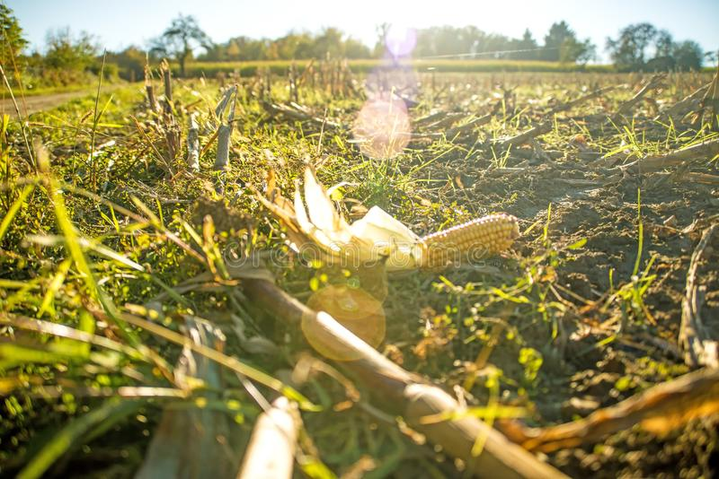 Corn cob on harvested field royalty free stock image
