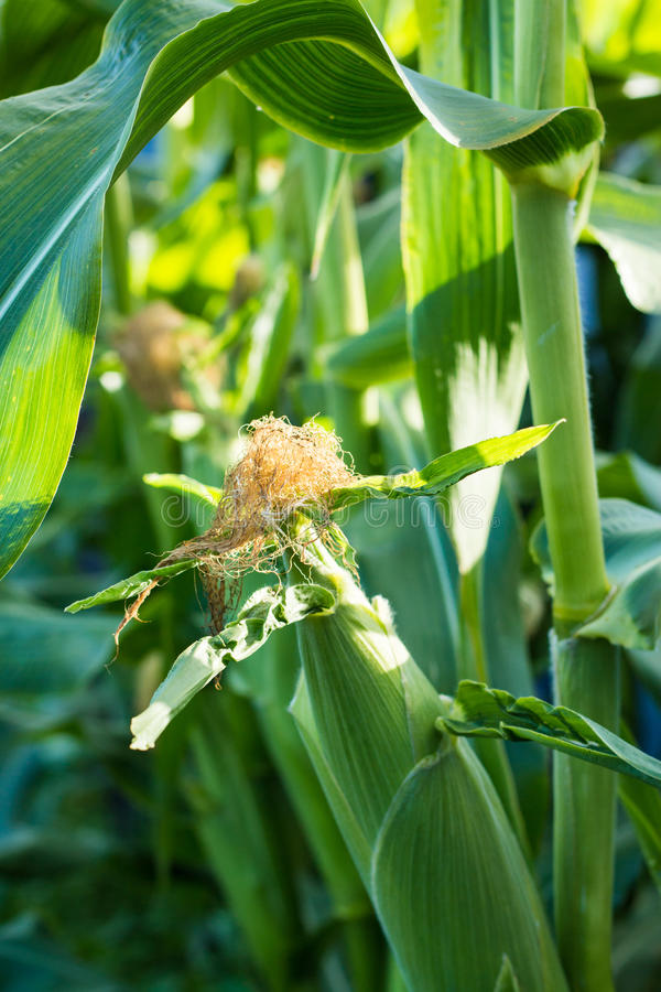 Download Corn Cob stock image. Image of vegetable, food, hair - 30421819