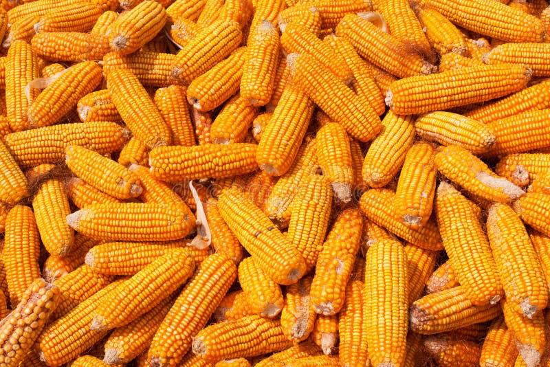 Corn Cob pile isolated on white background royalty free stock photos