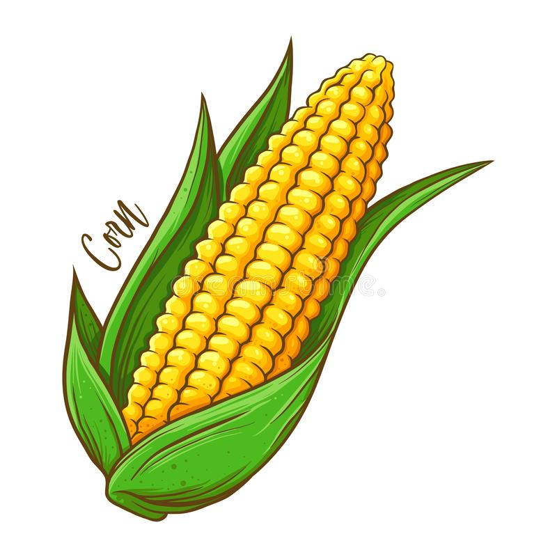 Corn On The Cob Vegetable stock illustration