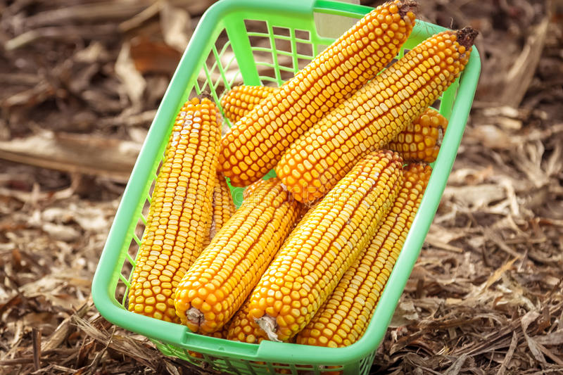 Corn cobs in a basket royalty free stock images