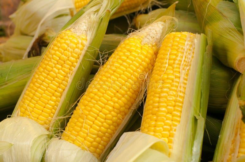 Corn cobs royalty free stock image