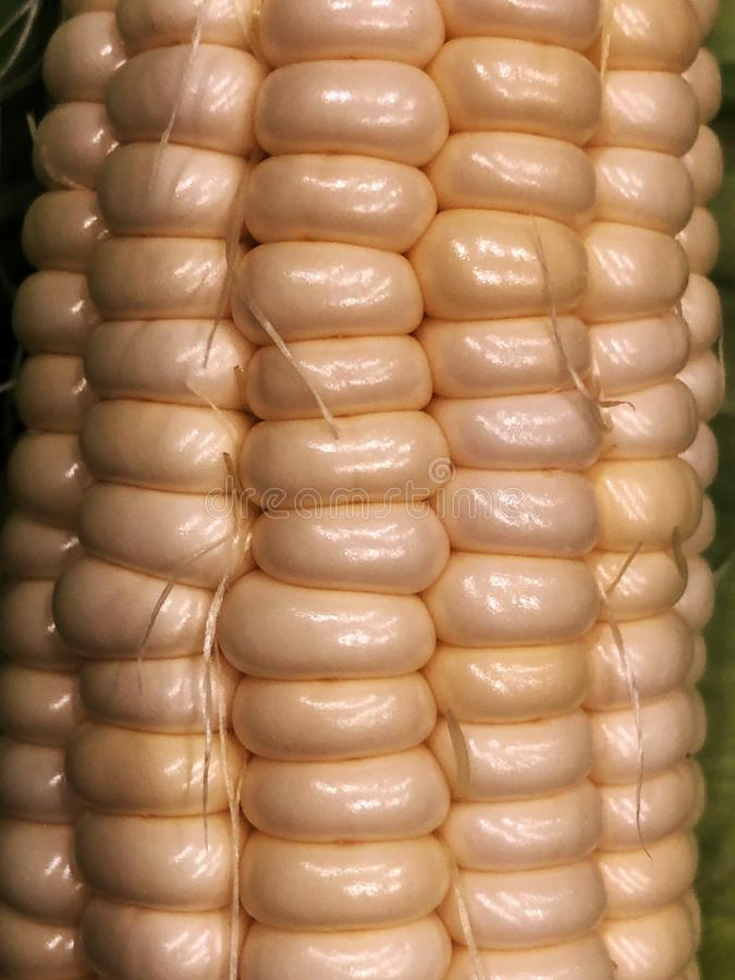 Corn Cobs. royalty free stock photography