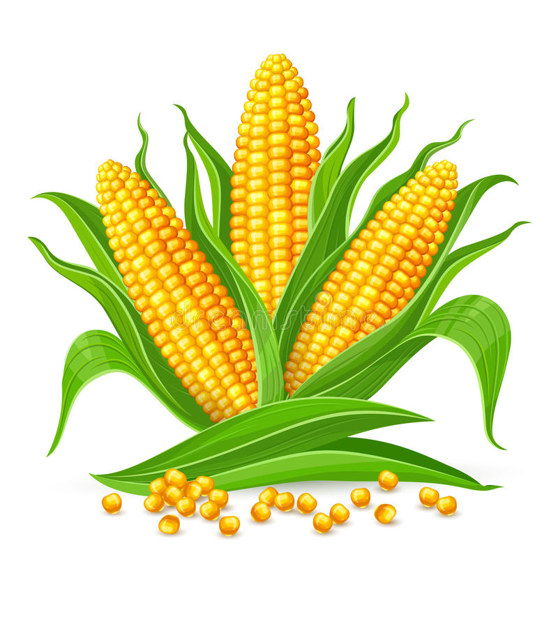 Corn cobs isolated. Corncobs with yellow corns and green leaves group, white background. Ripe corn vegetables isolated, Eps10 vector illustration stock illustration