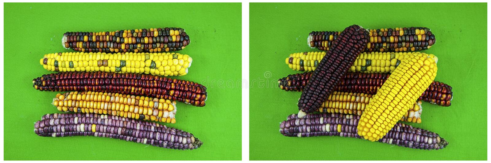 Corn cobs maize indian colors green background collage stock photo