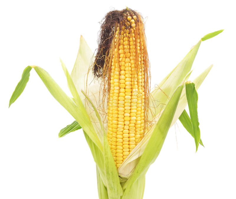 Corn cobs. stock photography