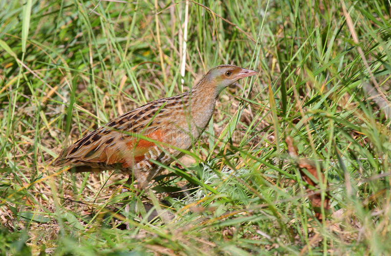 Download Corn crake on green grass stock photo. Image of nature - 17274040