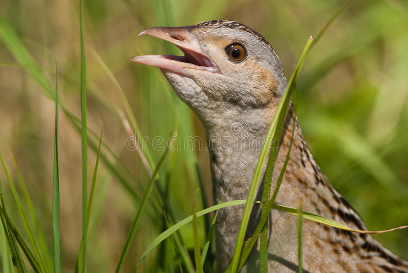 Corn crake portrait. Corncrake or landrail portrait, very rare bird royalty free stock images