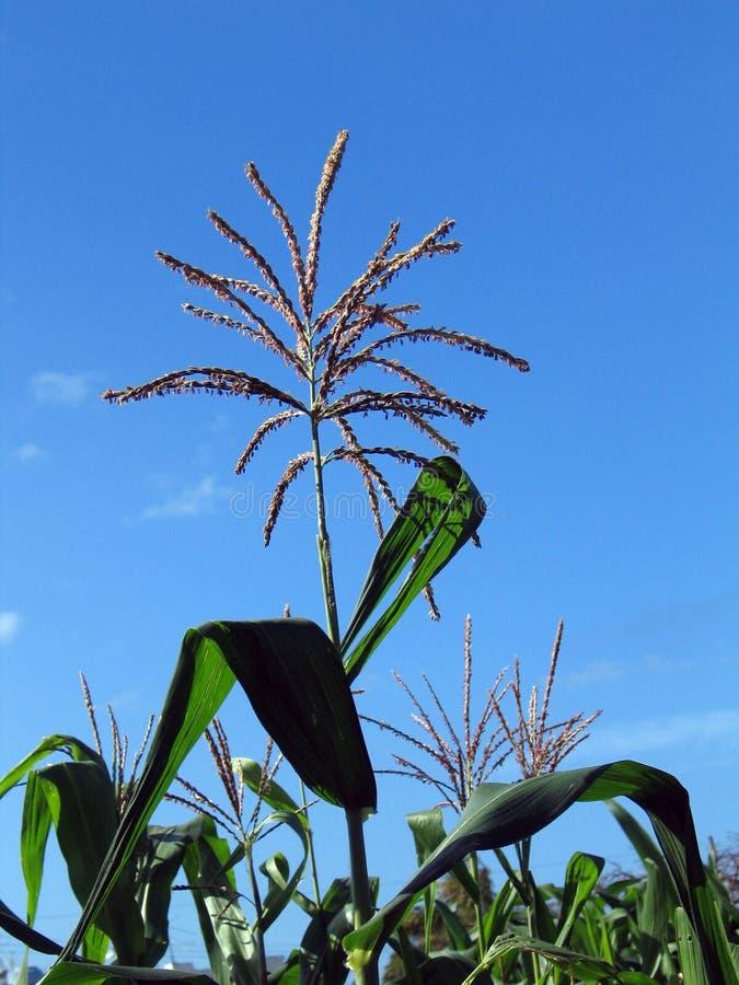 Download Corn crop stock image. Image of crop, nutrition, nutritional - 1717047