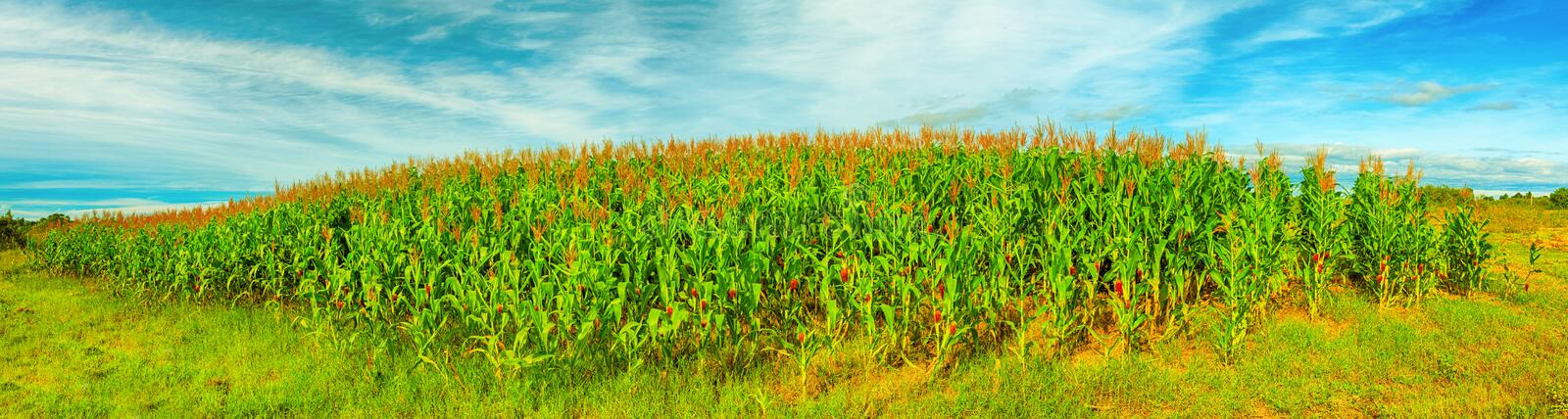Download Corn crop stock photo. Image of landscape, crop, field - 25815048