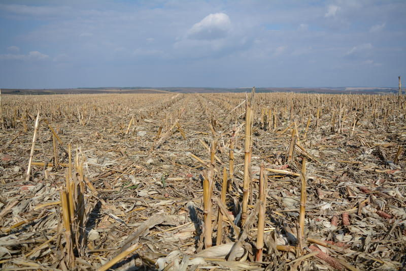 Harvested corn crop royalty free stock images