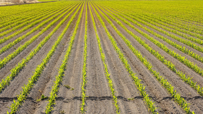 Corn crop just planted in rows on Idaho farm royalty free stock images
