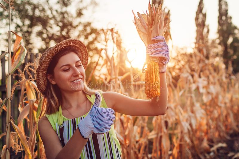 Corn crop. Young woman farmer picking corn harvest. Worker holding autumn corncobs. Farming and gardening royalty free stock photo