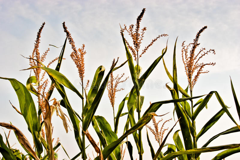 Download Corn crops stock image. Image of grass, food, green, landscape - 14856841