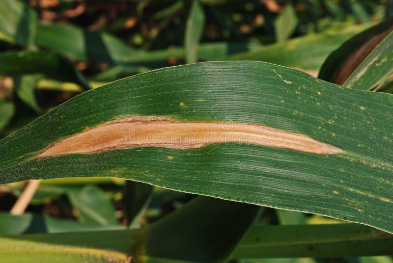 Corn disease;fungus disease. Northern leaf blight stock images
