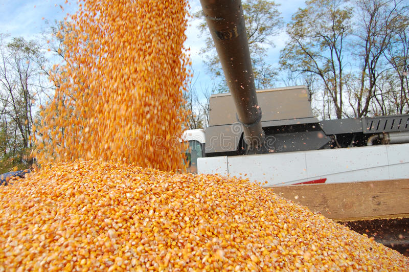 Corn downloading. Rich corn yield, now it is downloaded to the truck royalty free stock photo