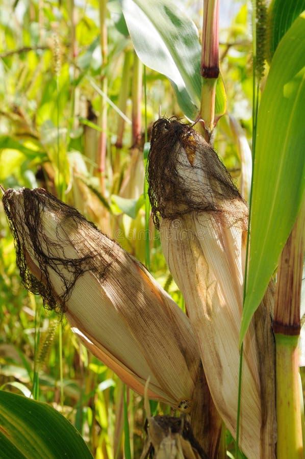 Corn Ear Royalty Free Stock Photo