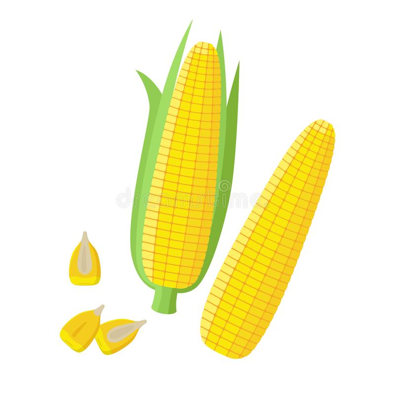 Corn ear, Ripe corn cobs, corn seeds, grains vector illustration in flat design isolated on white background. Peeled vector illustration