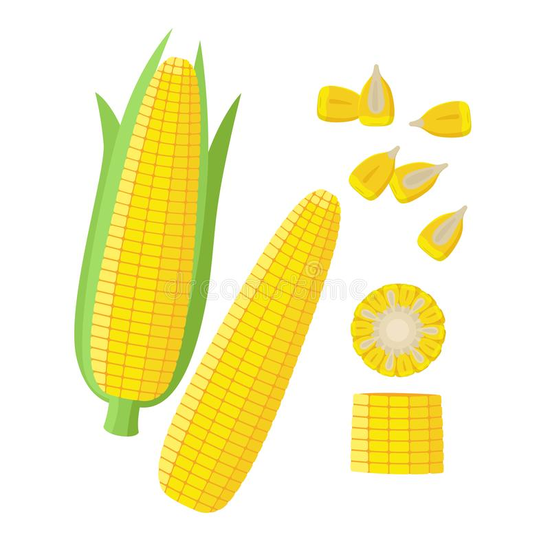 Corn ear, Ripe corn cobs, corn seeds, grains vector illustration in flat design isolated on white background. Maize royalty free illustration