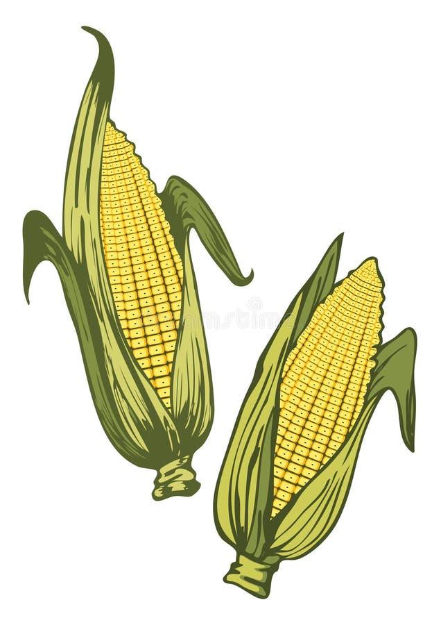 Corn ears vector illustration