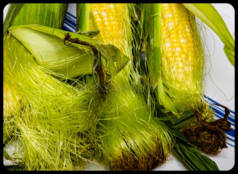 Corn ears with partially opened husks stock photo