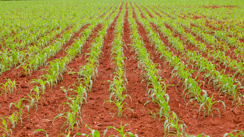 Download Corn farm stock image. Image of land, soil, farm, agriculture - 32883957