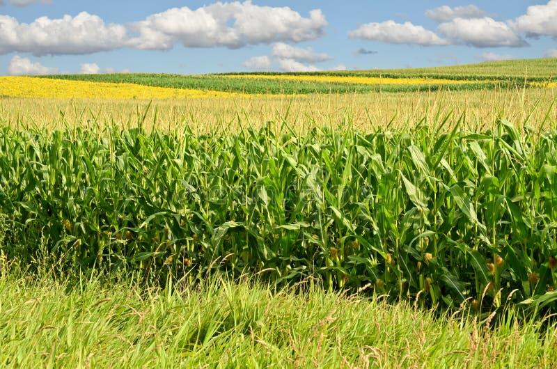 Corn Farm stock photography
