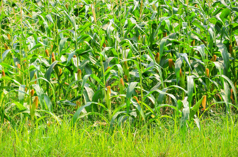 Corn farm royalty free stock images