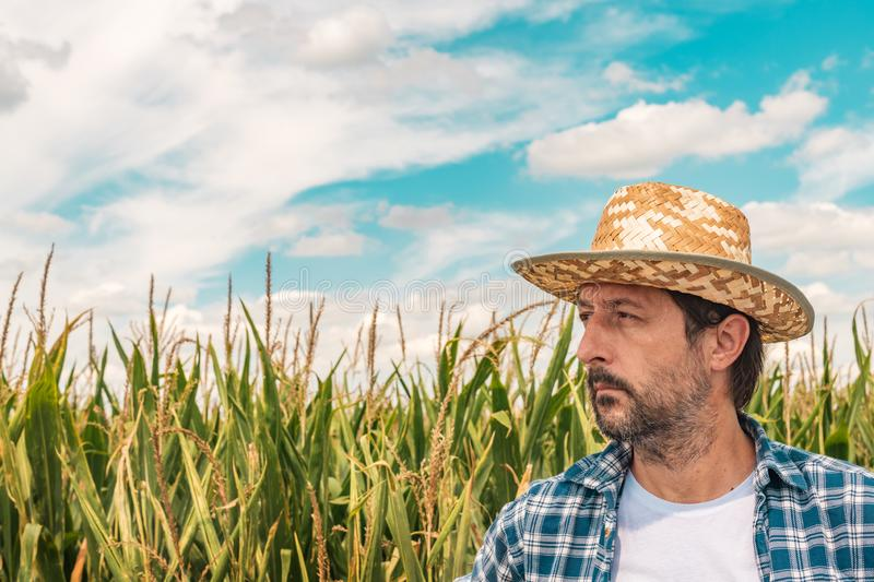 Corn farmer in cultivated maize field stock images
